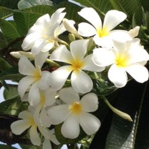 Bang Saen Angsila Hlo's flowers
