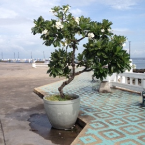 Bang Saen plant in pot on promenade